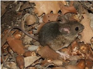 raton de campo